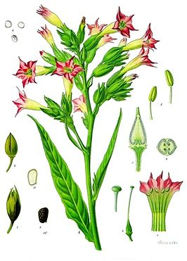 Nicotiana_tabacum_-_K-hler-s_Medizinal-Pflanzen-098